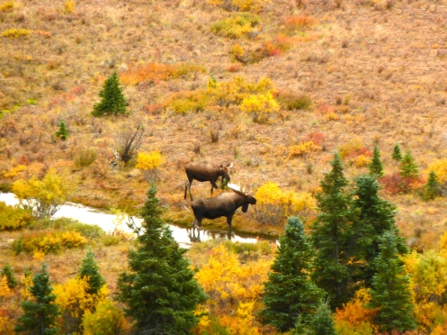 Moose near Savage Creek