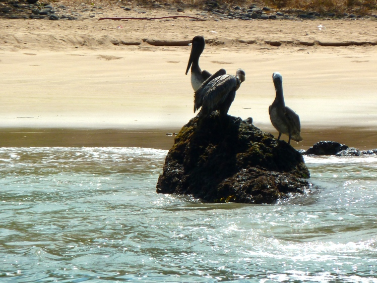 The Pelicans of Las Cuevas