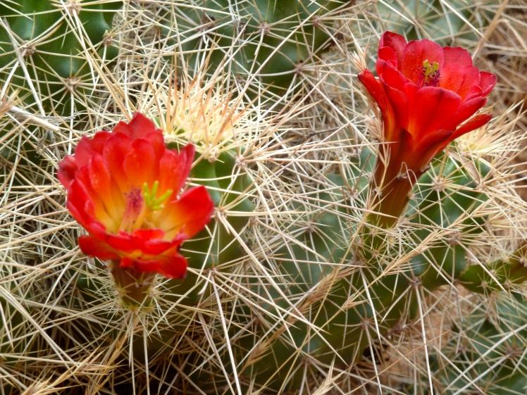 Cacti Blooming!